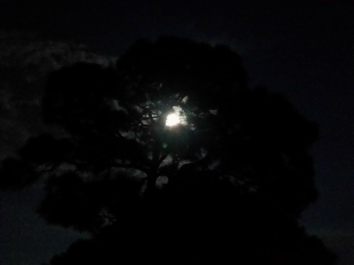 Australian Pine at night
