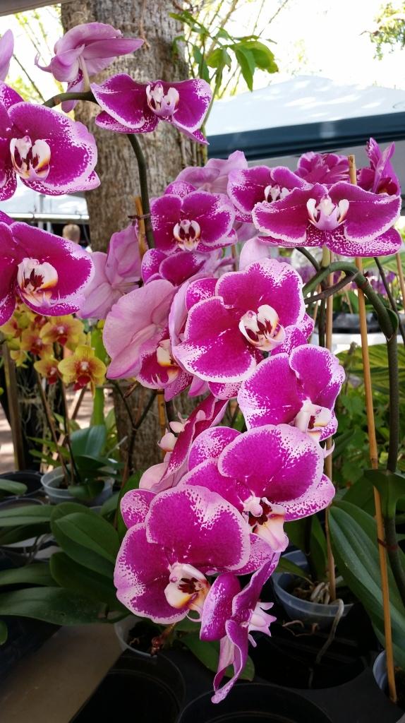 Orchid, Wat Mongkolrata Temple, Tampa, Florida