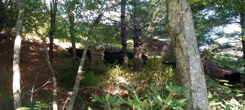 See the mini horse betwixt the bovines?